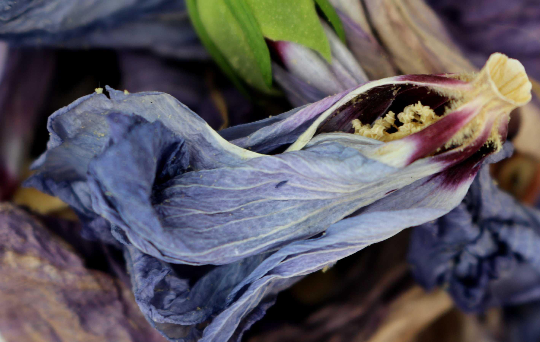 Medium fleurs s ch es d hibiscus